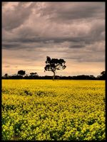 Dreaming in Canola by angusfk