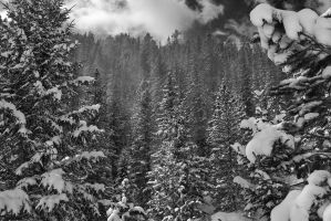 Snowy Pines by MikeDaBadger