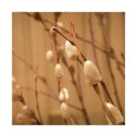 warm pussy-willow by Galaher