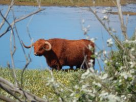 Highland cattle 3 by queenofeagles