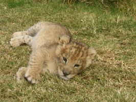 another lion cub by drwhofreak