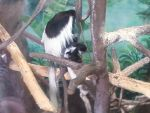 Mother and Baby Colobus monkey by DragonSamurai16