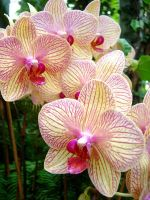 orchid 5 by evanescentdreams