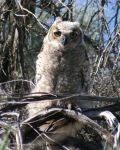 Baby owl by RandyLanning