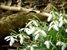 Snowdrop by Agatje