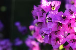 Bougainville by vicymarine