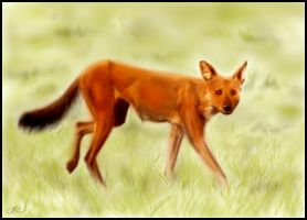 Dhole Painting by Inonibird