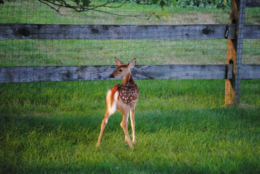 White Tailed Deer Fawn 1.2 by mocking-turtle-stock