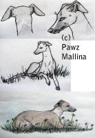 Whippet sketches by PawzMallina