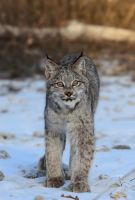 Canadian Lynx VII by White-Voodoo