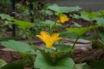 Squash Blossoming 2013-07-08 02 by skydancer-stock