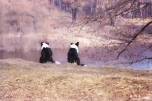 Border Collie Dreams by T-Solnechnaya