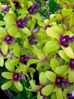 Dendrobium Orchids by joeyartist