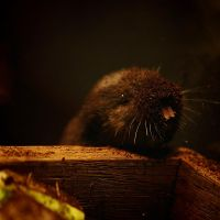 Golden Mole by XSini