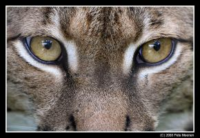 Lynx Eye View by UrsusAmericanus