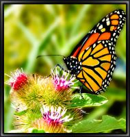 Butterfly on Thistle by SunStar1111