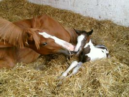 Foal, just born by Zapz