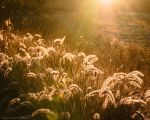 Glowing Foxtails 8 by isotophoto