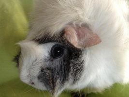 Guineapig close up by Wolfywingedwolf