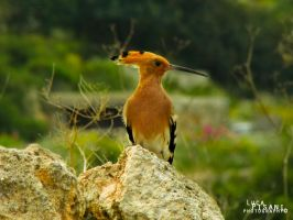 Hoopoe - Upopa epops by Maltese-Naturalist