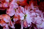Soft Pink Stock Flowers by bloomingvinedesign