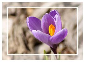 Crocus 2 by Vamaena