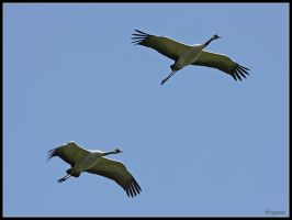 Common Cranes by cycoze