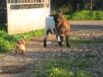 Puppy atacks goat! by as15245467