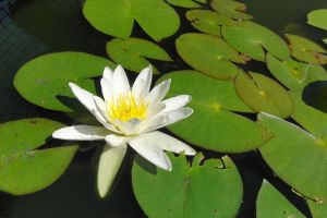stock water lily 3 by Twins72