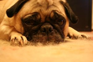 Pug by OpenBook-stock