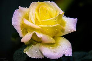 Yellow Rose of Texas...2 by midnightrider79