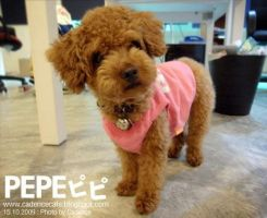 Lovely Toy Poodle Pepe by iamcadence