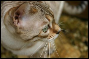 Snow spotted bengal by AngiWallace