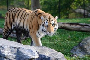 Amur Tiger by 8TwilightAngel8
