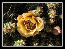 Prickly Pear Bloom by dove-51