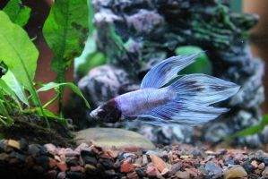 Marble Veiltail Male Betta by DoubleVision107