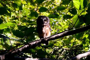 owl by BCMountainClimber