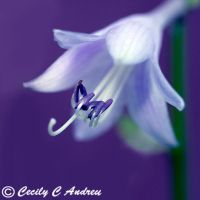 Hostas by CecilyAndreuArtwork