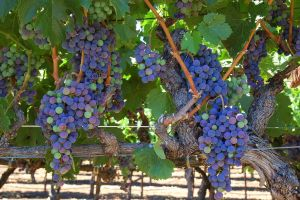 Sonoma Co. Wine Harvest 1 by smfoley