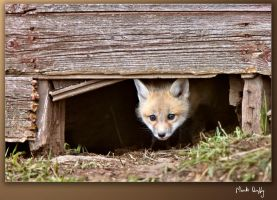 Fox Kit Peeking by pictureguy