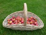 Basket of Plums by Jaspersmum