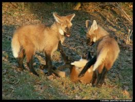 3 Maned Wolf Pups Play No2 by leopatra-lionfur