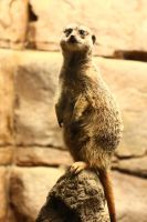 Meerkat on a Rock by CobaltBrony