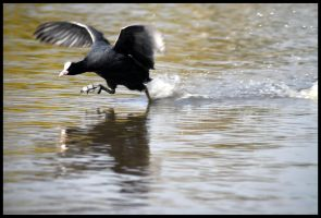 Territorial Coot by St0DaD