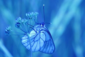 Aporia Crataegi in blue by Amersill