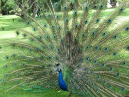 Peacock 1 by BelegStrongbow