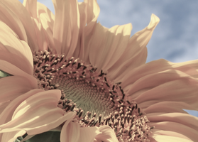 faded pink sunflower by ahhsummer