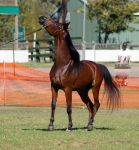 TW Arab bay restless headnose up in the air by Chunga-Stock