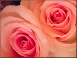 TWO PINK ROSES by THOM-B-FOTO