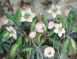 Christmas rose by solgas